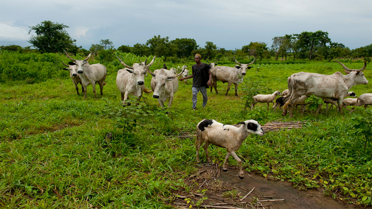North kicks as Afenifere, others back Southern governors on cattle grazing ban