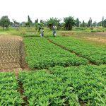 Apathy, distrust hamper Anchor Borrowers Programme, say North Central farmers